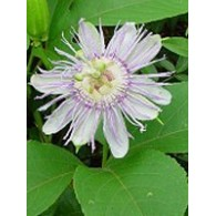 TSA PASSIFLORA INCARNATA 50 ML